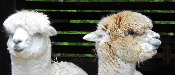 Two llamas--not getting the message across