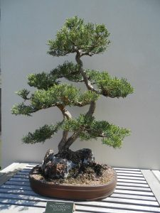 bonsai--roots clipped